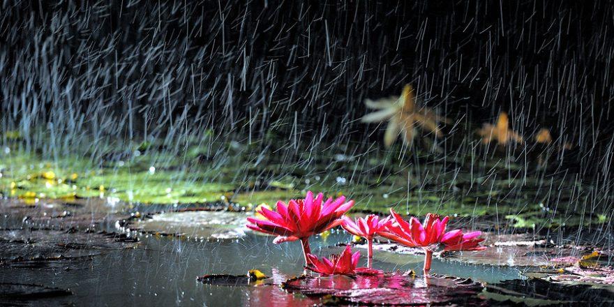 lotus in rain